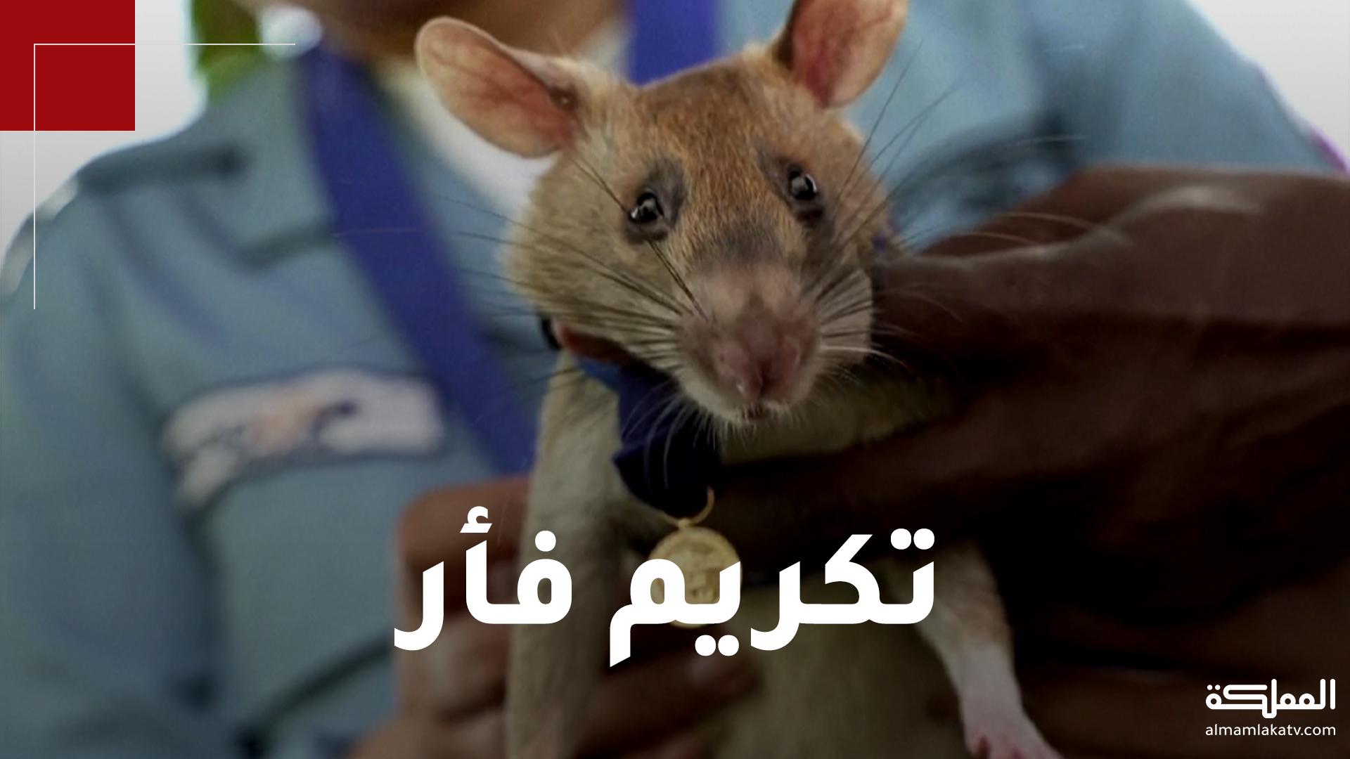 فأر يمنح ميدالية ذهبية لمساهمته في حماية الأرواح