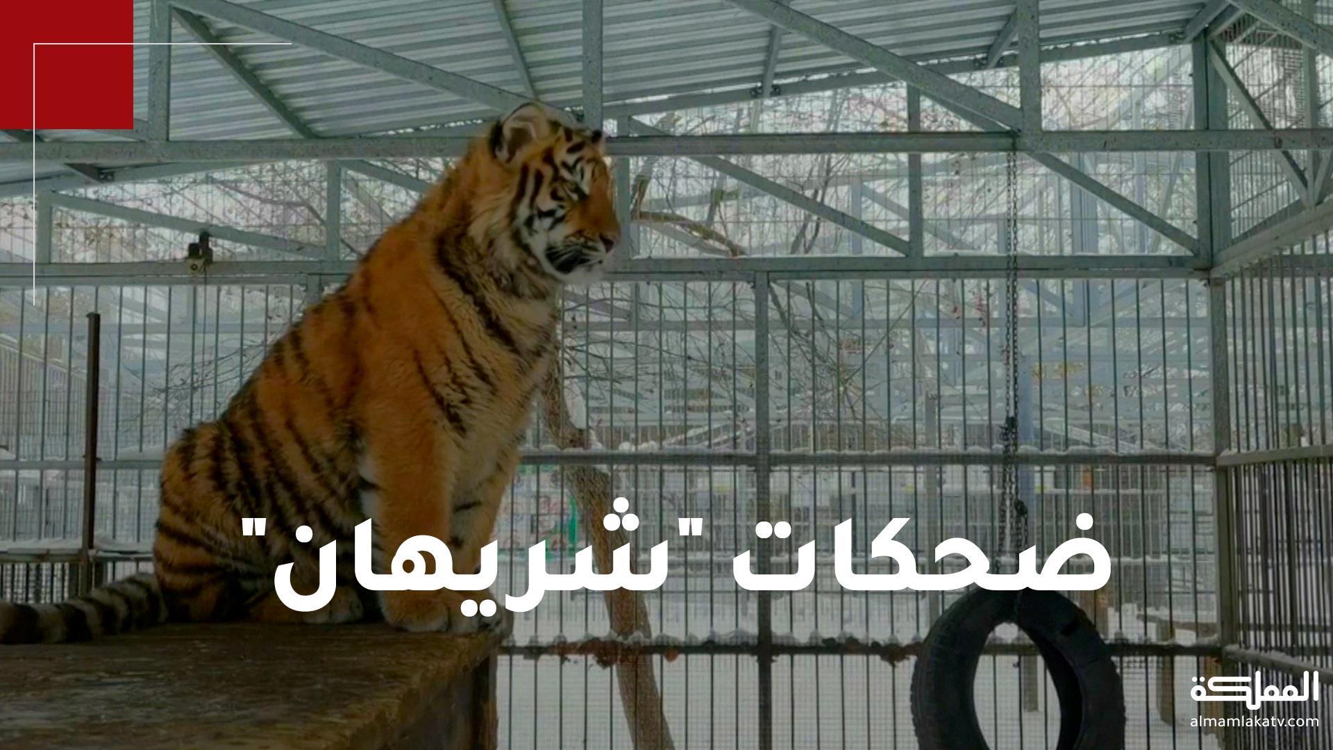 """أصوات شبيهة بالضحك يصدرها النمر """"شريهان"""".. في طريقة يتواصل فيها مع والدته"""
